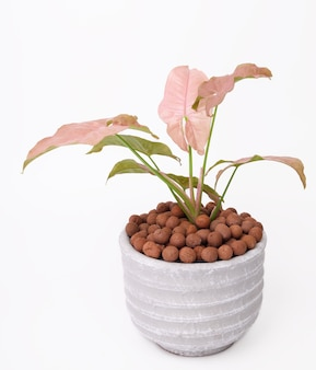 Beautiful pink syngonium houseplant  in concrete pot on white background