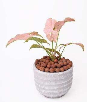 Красивое розовое комнатное растение syngonium в бетонном горшке на белом фоне