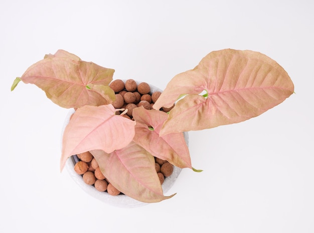 Beautiful pink syngonium houstplant  in concrete pot on white background,top view