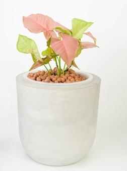 흰색 바탕에 콘크리트 냄비에 성장 식물에 레카 볼이 있는 아름다운 분홍색 신고니움