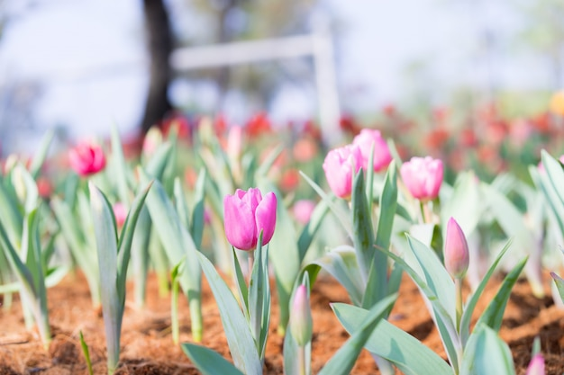 Beautiful pink tulip in the garden on green tree tulips background,