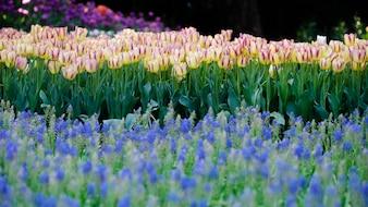 Красивые розовые тюльпаны весной