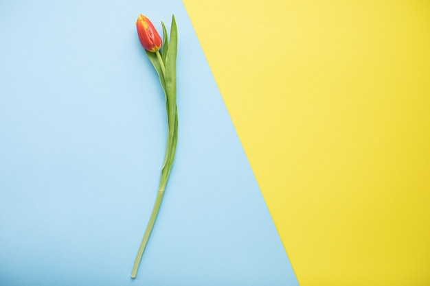 Красивые розовые тюльпаны на разноцветных бумажных фонах с копией пространства. весна, лето, цветы, цветовая концепция, женский день.