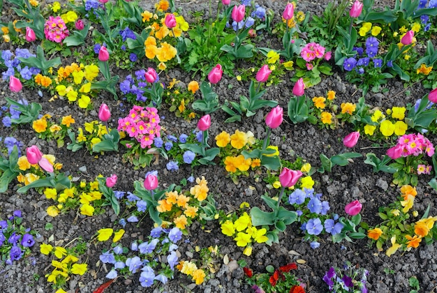 Beautiful pink tulips and viola tricolor flowers in the spring time. nature many-colored background.