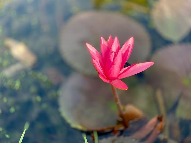 Beautiful pink water lily or lotus flower