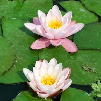 池の美しいピンクのスイレン(nymphaeaalba)