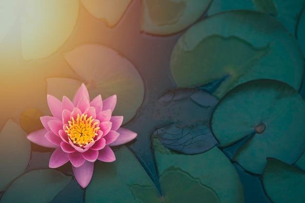 池に日光が差し込む美しいピンクの睡蓮や蓮。