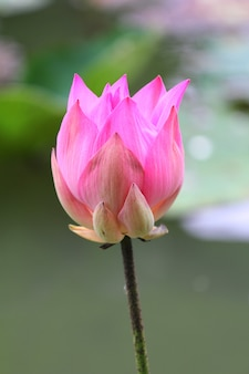 Beautiful pink waterlily or lotus flower in the pond, thailand.