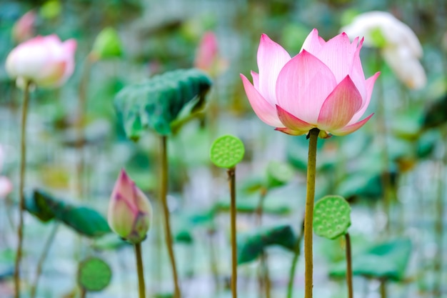 A beautiful pink waterlily or lotus flower in the water