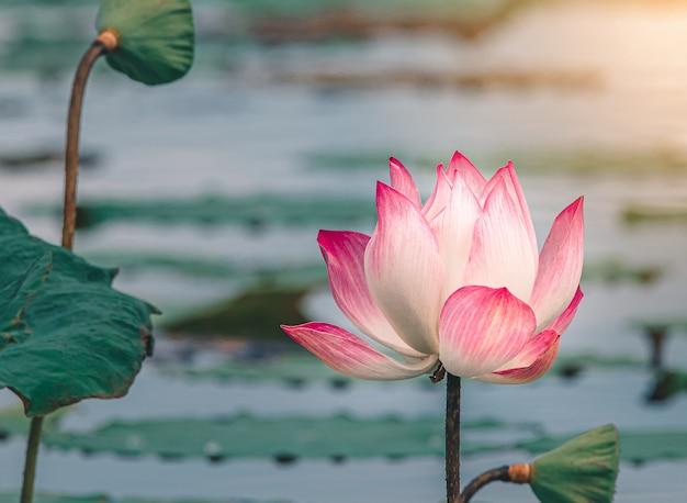 池の美しいピンクのスイレンやハスの花。