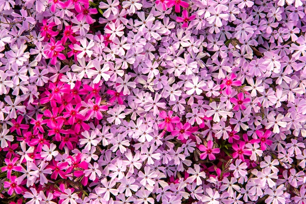 Beautiful pink white flowers along the footpath.