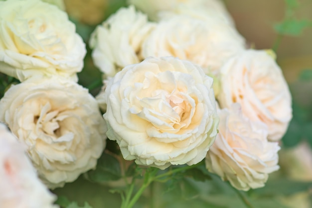 Красивые розовые белые розы в саду самер