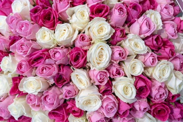 Beautiful pink and white roses. roses fit tightly to each other.