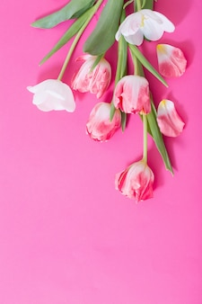 Beautiful pink and white tulips on pink paper surface