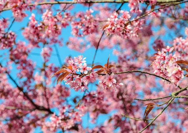 Beautiful pink wild himalayan cherry blossom in spring  over blue sky