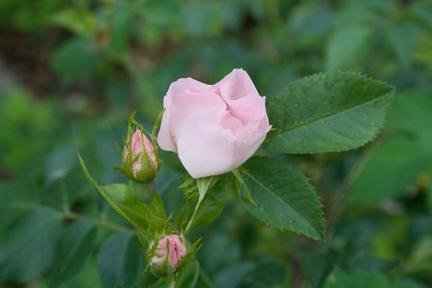아름 다운 핑크 야생화 dogrose