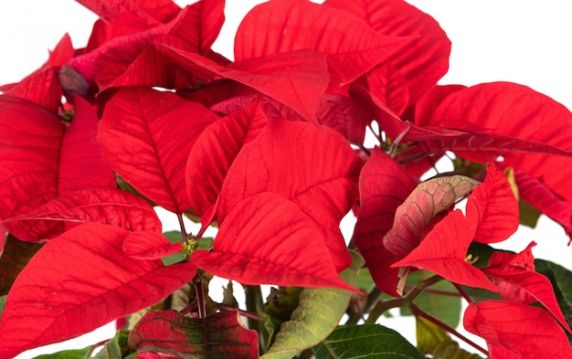 Beautiful plant for decorating in christmas