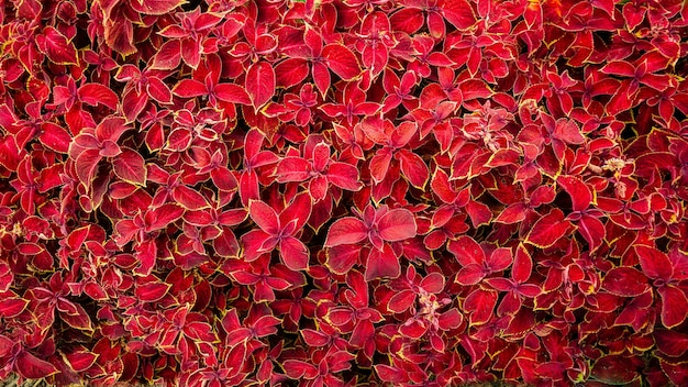 Beautiful plants with bright red leaves