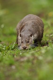 Bella e giocosa lontra di fiume nell'habitat naturale in repubblica ceca lutra lutra