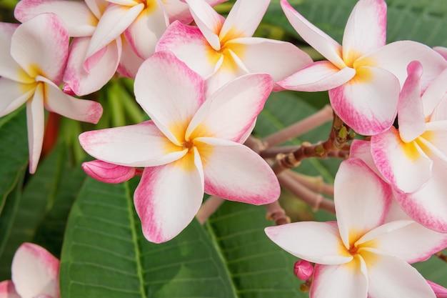 The beautiful plumeria or frangipani flower close up background.