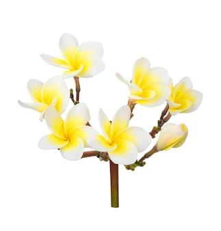 白い表面に分離された美しいプルメリア インドソケイの花