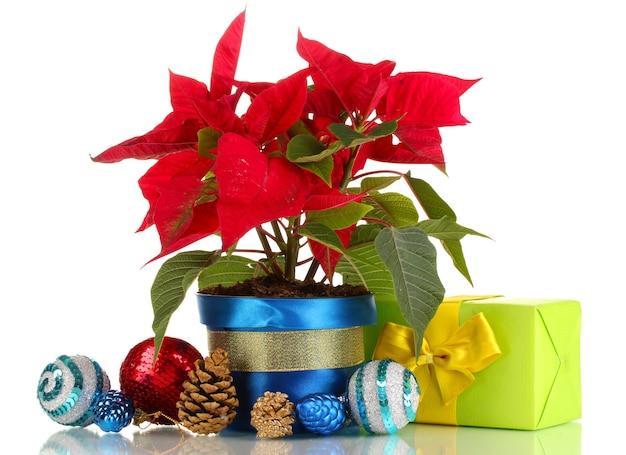 クリスマスボールと白で隔離のプレゼントと美しいポインセチア