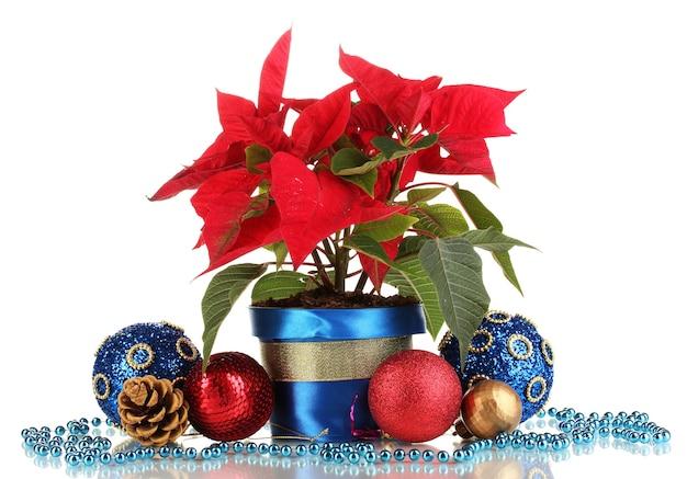 白で隔離のクリスマスボールと美しいポインセチア