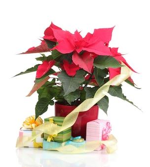 白で隔離されるさまざまなプレゼントと美しいポインセチア