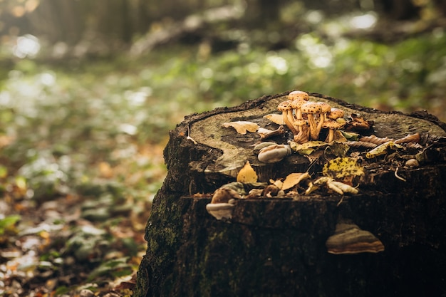 Beautiful poisonous mushrooms on a stump in autumn forest