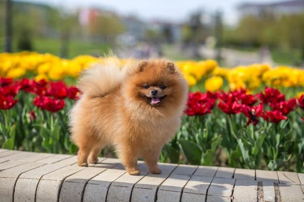 Красивая померанская собака в парке