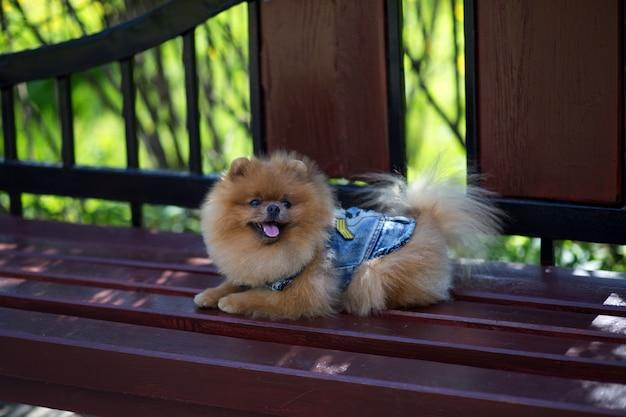 公園の美しいポメラニアン犬