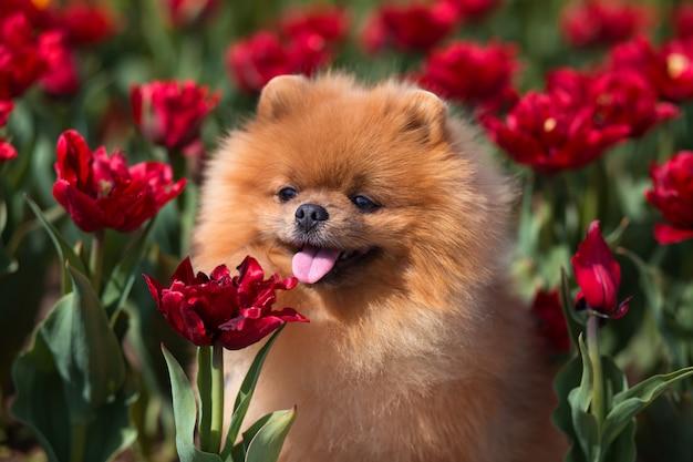 Beautiful pomeranian dog in a park