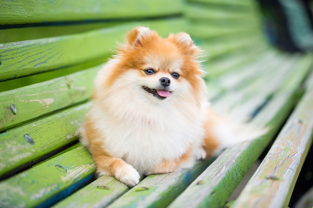 Beautiful pomeranian spitz orange color.