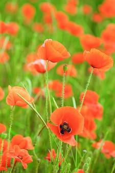 美しいポピー畑の夏の花