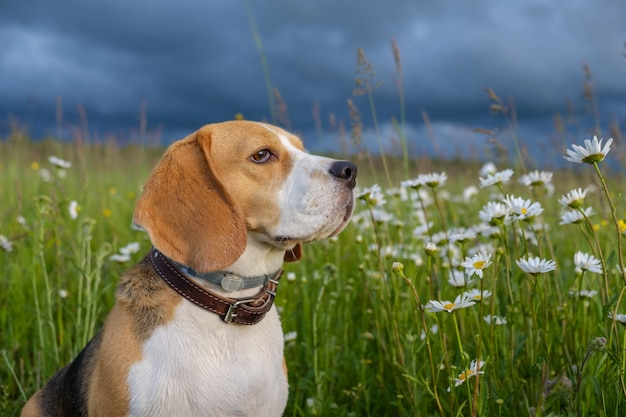 Beautiful portrait of a beagle dog on a summer evening in a meadow with white daisies