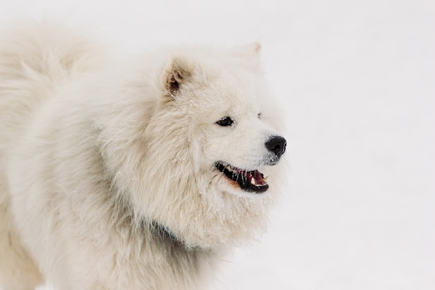 A beautiful portrait of a dog samoyede