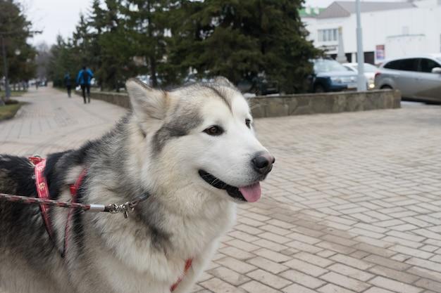 Beautiful portrait of a dog. siberian laika.