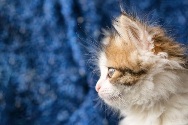 Beautiful portrait of a fluffy kitten on blue