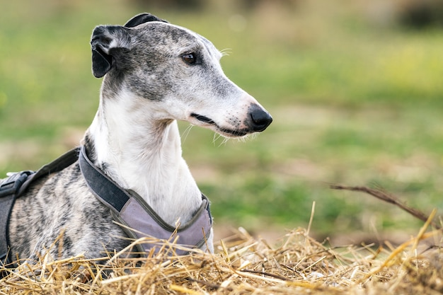 Beautiful portrait of greyhound dog resting over a straw bed