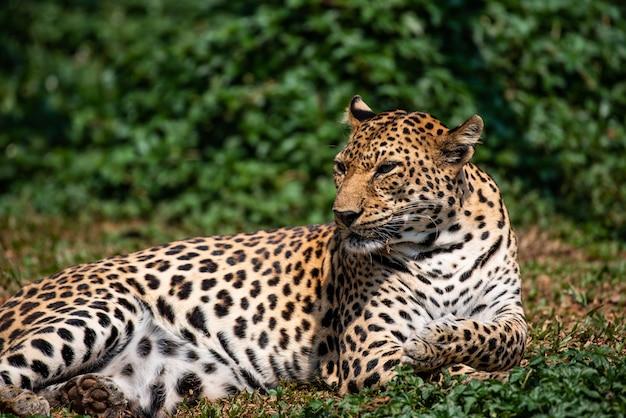 A beautiful portrait leopard
