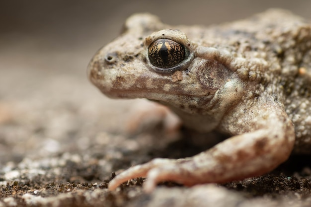 Beautiful portrait of midwife toad with golden eyes