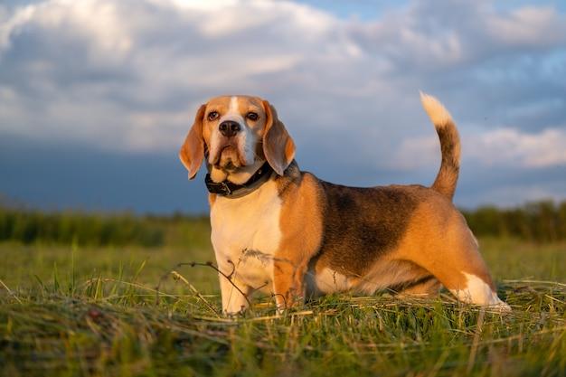 夏の夜の散歩にビーグル犬の美しい肖像画
