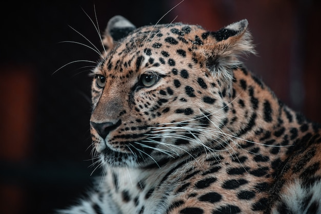 略奪的な動物の美しい肖像画。ヒョウ。男性。