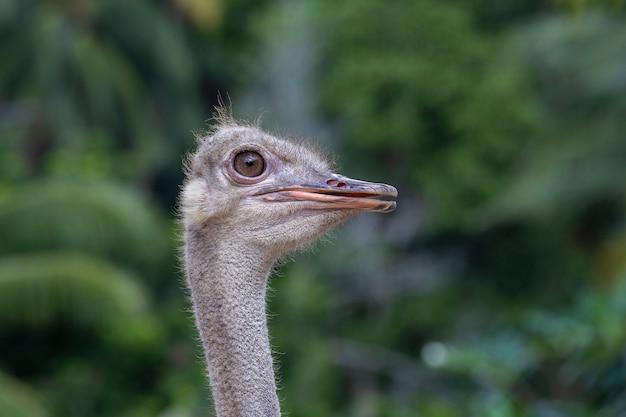 Красивый портрет большого африканского страуса. крупным планом, голова макро страуса