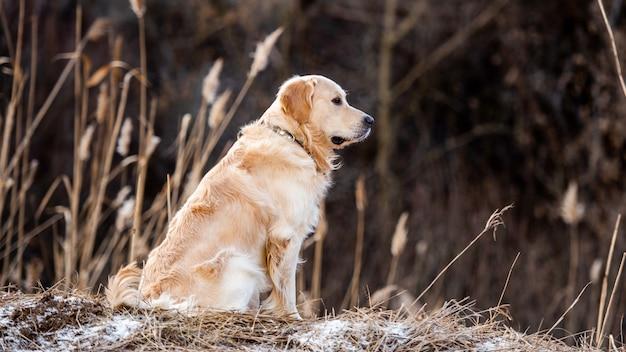 Красивый портрет собаки золотистого ретривера, сидящей на открытом воздухе ранней весной с размытым фоном ...