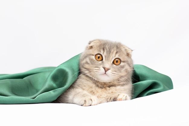 スコティッシュフォールド猫の品種の美しい肖像画は、白い孤立した背景に折ります。かわいい若いシルバーグレーの縞模様のスコティッシュフォールド猫はがき