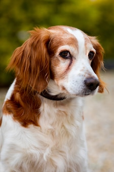 Beautiful portrait of a white and brown dog