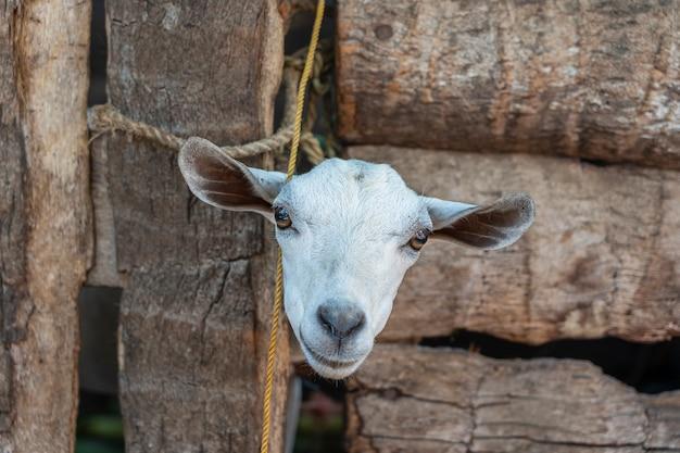 A beautiful portrait of a white head goat closeup on the island of zanzibar, tanzania, africa