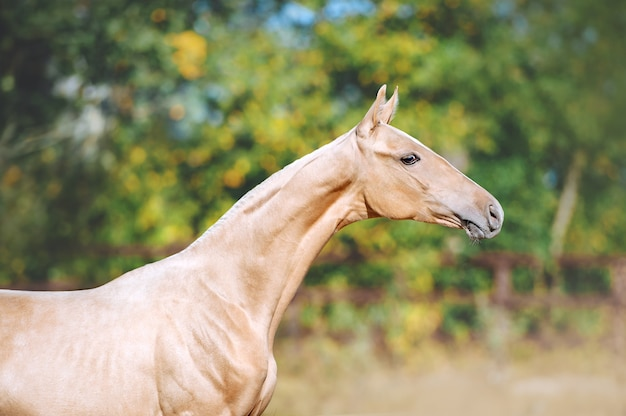 Beautiful portrait of a young horse of akhal-teke breed. the head of a horse with a long neck.