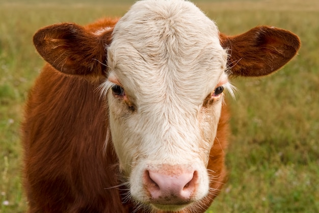 Beautiful portrait of a young red bull with white eyelashes